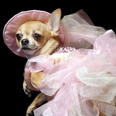 Lemmikkikoira on puettu muotinäytökseen.