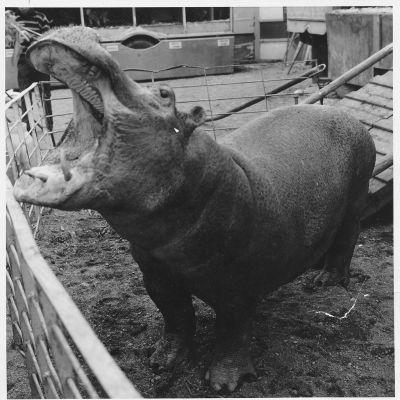 Virtahepo Hummeli otti hatkat Tivoli Sariolasta 1960-luvun alussa.
