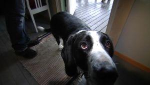Hunden Piki bor nära galleriet