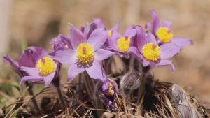 Hämeenkylmänkukka kukkii