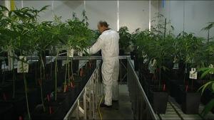 Mies kastelee lääkäkannabis-kasveja kasvihuoneessa.