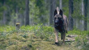 Poliisikoira juoksee metsässä