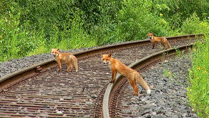 Tre rävar som korsar tågrälset.