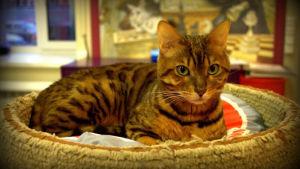 Kissa pietarilaisessa kissakahvilassa
