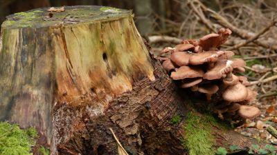 Mörkfjällig honungsskivling som växer på trädstubbe.