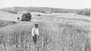 gammalt foto av bonde Johan Edvard Eriksson i sin rågåker
