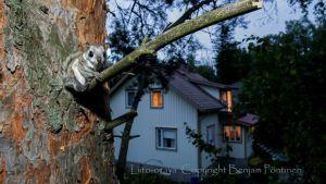 Liito-orava puussa