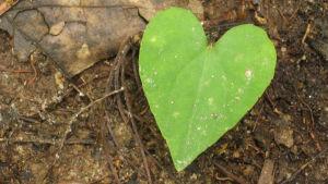 Ett löv som ser ut som ett hjärta.
