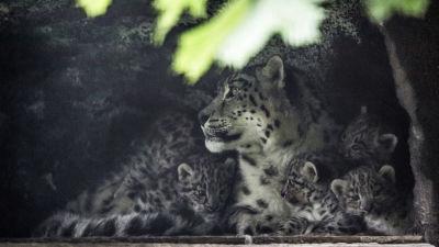 Snöleopardungar på Högholmen Maj 2014