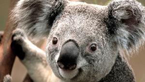 En koala.