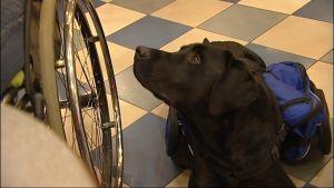 Assistenhund ligger bredvid rullstol