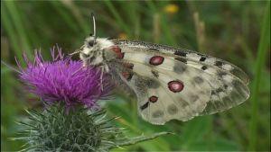 Apollofjäril suger nektar från tistel