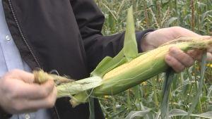 Majsen på bilden är inhemsk och inte genändrad majs.