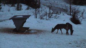 Vitsvanshjortar matas på Gullö i Ekenäs skärgård