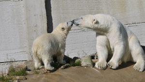 Isbjörnsungen med sin mamma