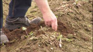 Förstörd potatisodling efter skyfall