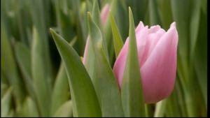 Tulpaner i handelsträdgård.