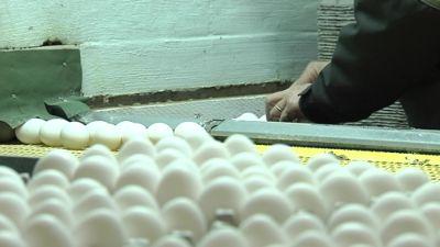 Ägg sorteras på en hönsgård