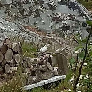 """Kjell Wennström såg vi en vit sädesärla i Hitis. Det vänstra fotot är taget av Eika Haapiniemi som berättade att det kan vara en unge. Kjell undrar om dylika """"albino"""" exemplar vanliga i Hitis trakten och kan man vänta sig fler ex. i framtiden."""