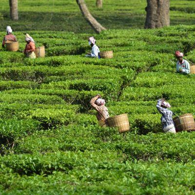 Naiset keräävät teenlehtiä Assamin osavaltiossa Intiassa.