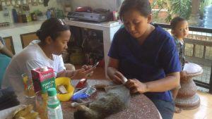 sterilisering av katt på köksbord i Bali.