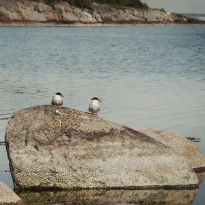 Kaksi tiiraa kivellä Dalskär-saaren rannassa, Saaristomerellä.