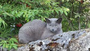 Russian Blue-katt.