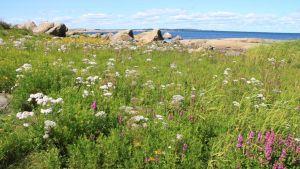 Värikäs kukkaniitty saaristossa