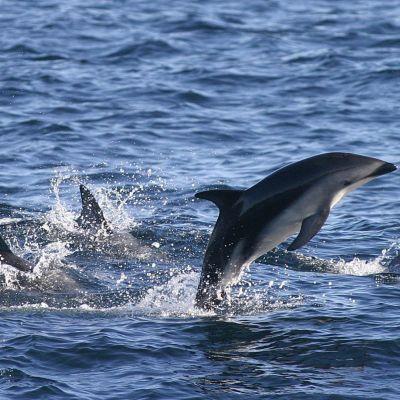 Delfiinejä Cape Townin edustalla Etelä-Afrikassa toukokuussa 2003.