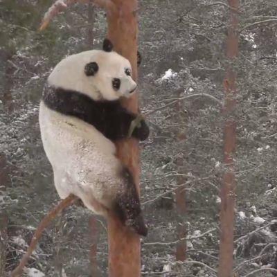 Det blev klättring så fort pandorna slapp ut i snön.