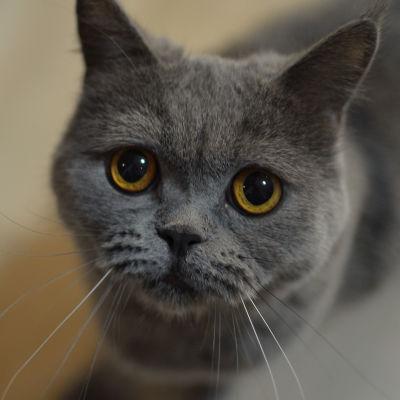 kissa katsoo kameraan