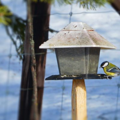 Talitiainen aterioimassa lintulaudalla