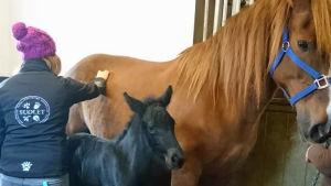Eläinlääkärikandi hoitaa hevosta ja varsaa
