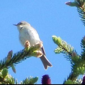 En liten fågel i ljus fjäderdräkt i toppen av en gran.