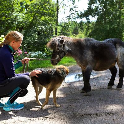 Ivrig-poni tulee viihtyy tilan koirien seurassa. Taluttajana Lotta Lehtonen.