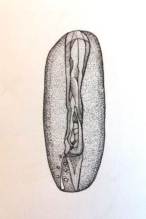 Pistetekniikalla piirretty yksityiskohtainen vulva.
