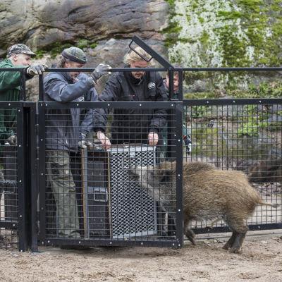 Vildsvinet Töpseli i Högholmens djurpark.