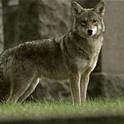 Coywolf, en hybrid av varg, prärievarg och tamhund.
