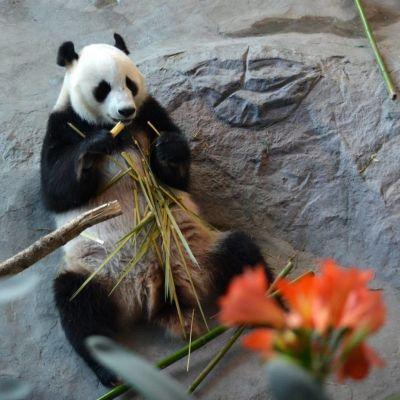 Panda äter bambu.