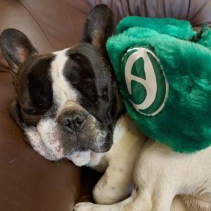 En hund ligger och sover med en grön luden Akilles-mössa på sig.
