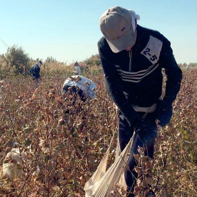 Puuvillan poimijoita uzbekistanilaisella pellolla sadonkorjuuaikaan.