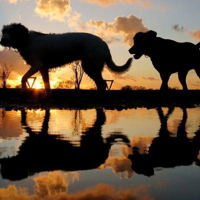 Kaksi koiraa kävelee auringonlaskun aikaan.