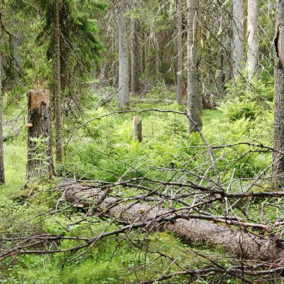 Lumen katkomia puita metsässä.