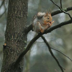 Orava syö kuusenkäpyä.