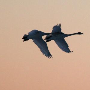 Kolme joutsenta lentää taivaalla
