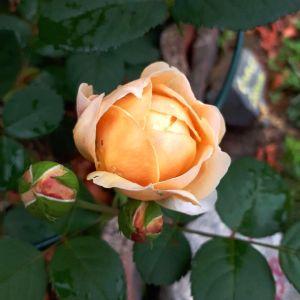 En närbild av en ros i ljus rosagul färg, som precis håller på att slå ut i blom.