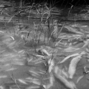 Döda fiskar i vattnet.