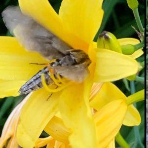 Två bilder på svärmare som besöker gul blomma.