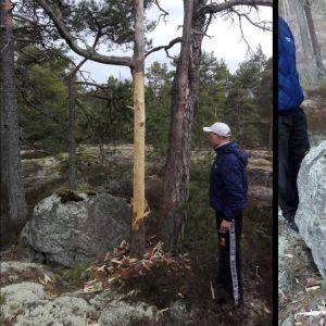 Två bilder på avskalat träd.