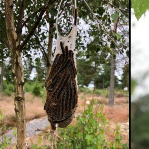 Två bilder på samling av larver hängande från träd.